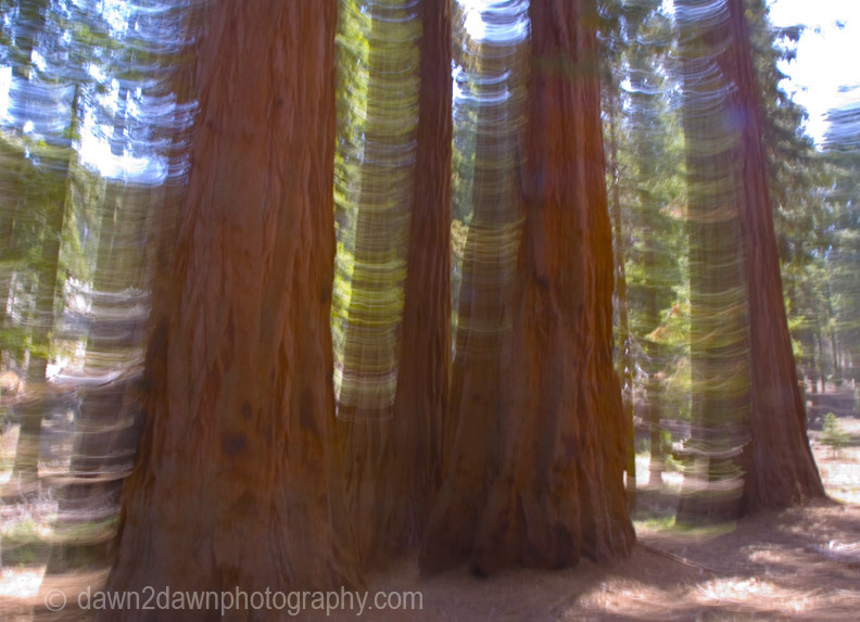 SEQUOIAS IN MOTION