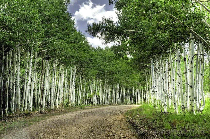 Aspen-lined Road