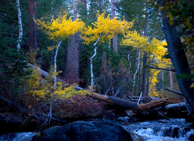 ASPENS ALONG A CREEK