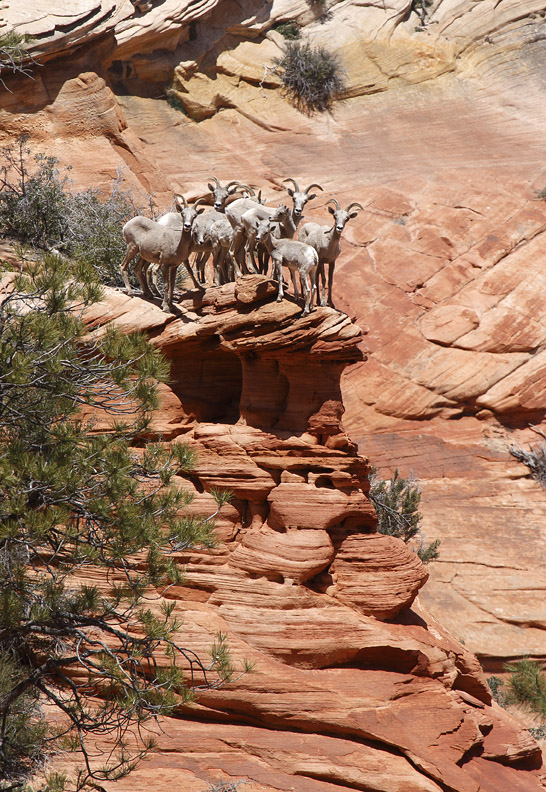 BIGHORNS ON THE EDGE