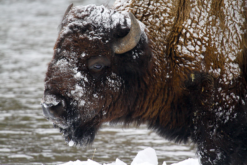 BISON FULL OF SNOW