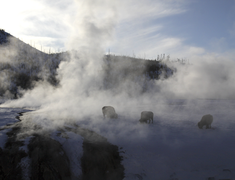 Yellowstone bison get some relief from the warm steam from nearby hot springs.