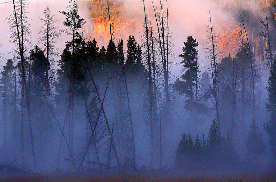 Morning fog permeates a lodgepole pine forest