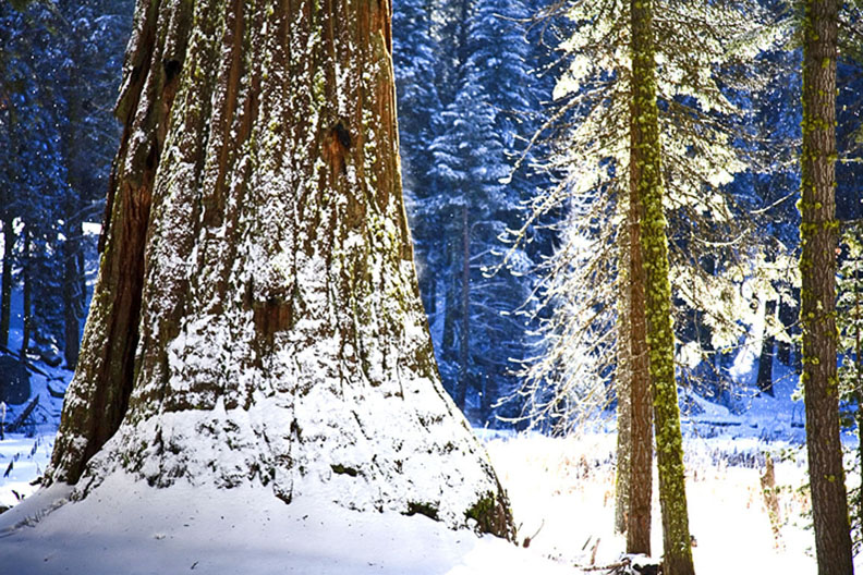 SEQUOIA SNOW 2