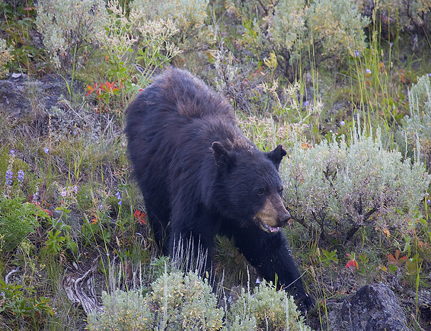 Black Bear foraging.