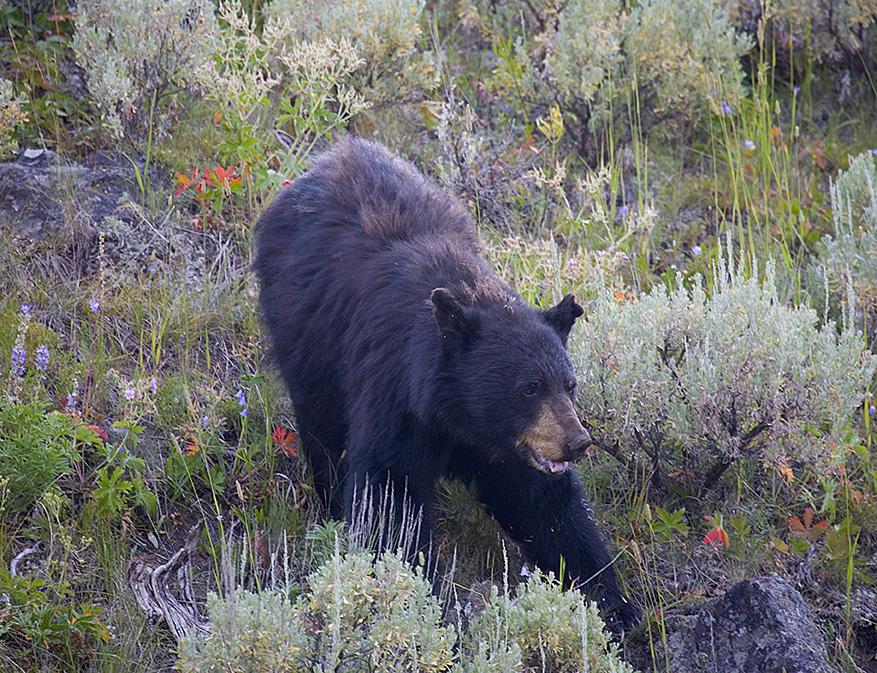 Black Bear foraging.