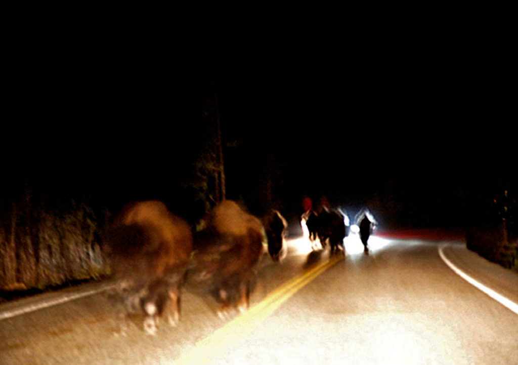 Herd of bison moving at night
