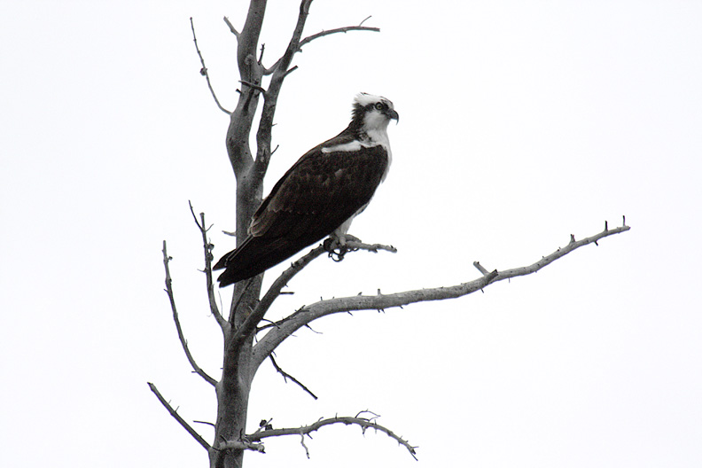 OSPREY ON ITS PERCH