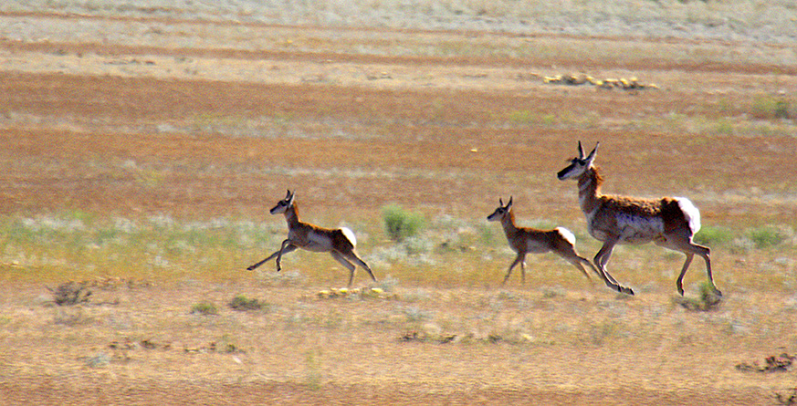 Pronghorn are North America's fastest mammals.