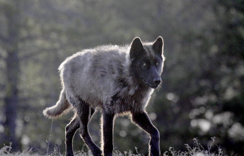 GREY WOLF WITH ICY STARE