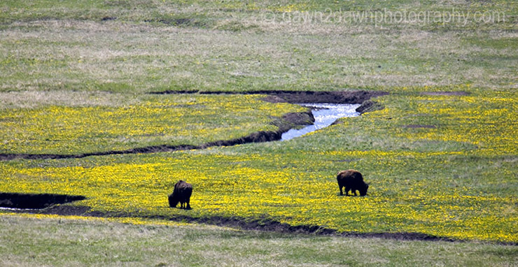 Bison grazing on wildflowers in Lamar Valley