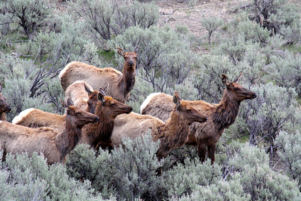 The next time you visit Yellowstone, the natives will be watching you.
