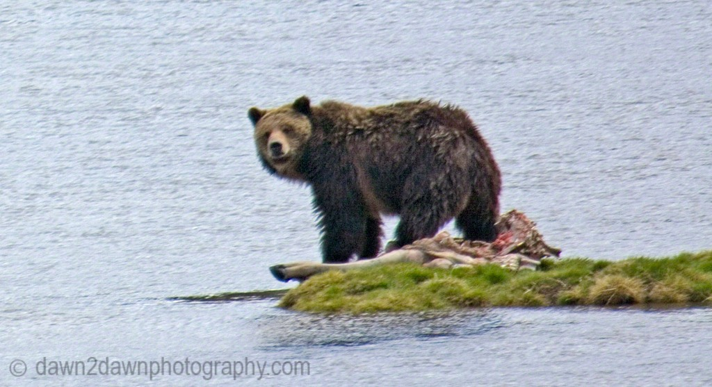 GRIZZLY ON YELLOSTONE RIVER