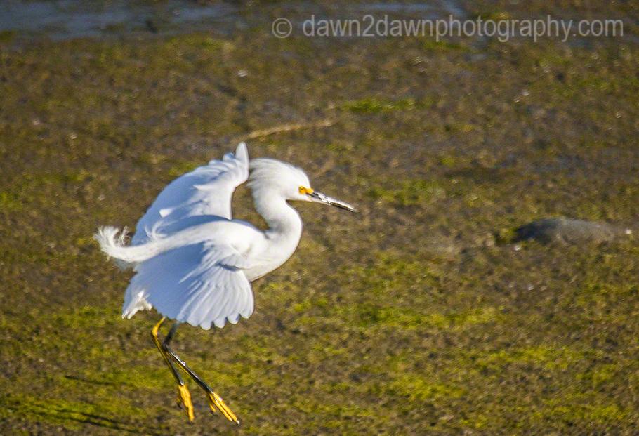 Snowy Egret_3578