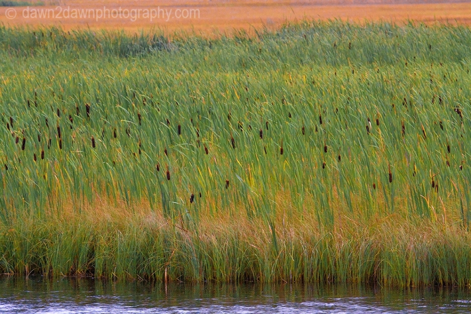 Teton Cattails