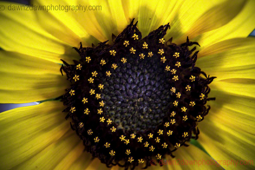 Sunflower Macro!