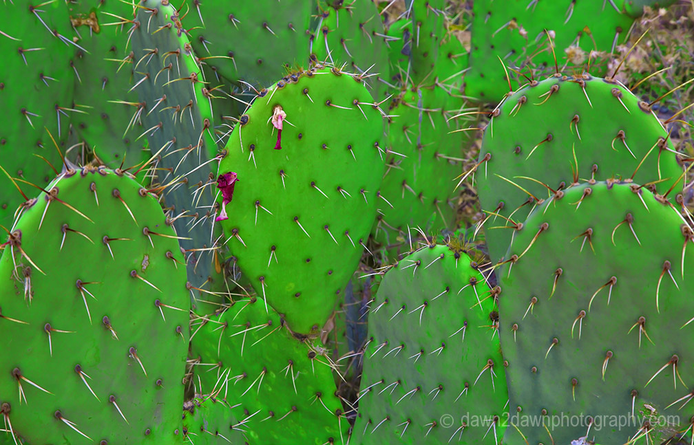 Zion Canyon Cactus