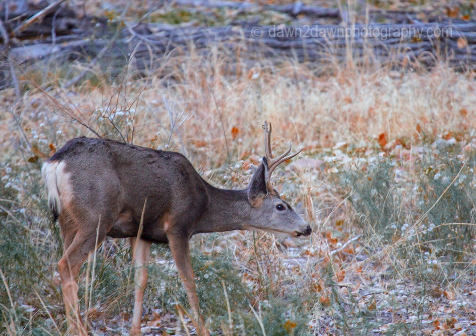 Zion Canyon Deer