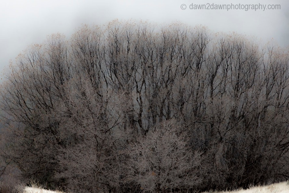 Fog Shrouded Trees