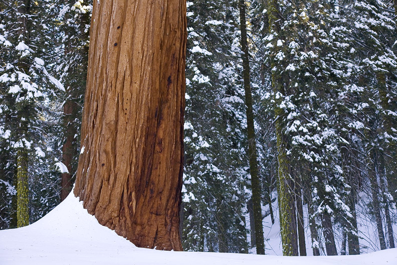 SEQUOIA AGAINST SNOWY PINES