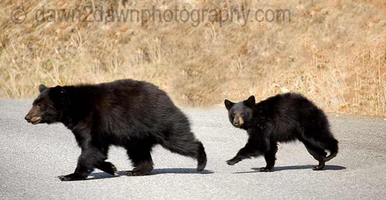 MOTHER BLACK BEAR AND CUB YOSEMITE