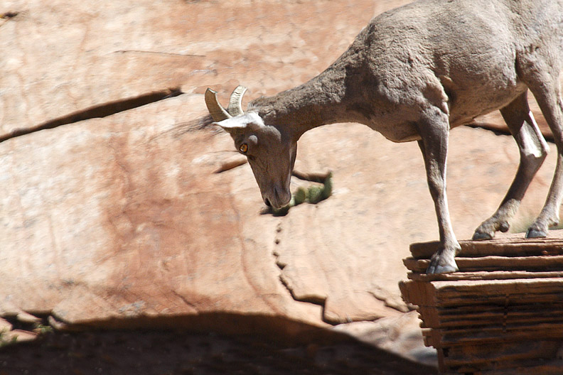 BIGHORN ON THE EDGE