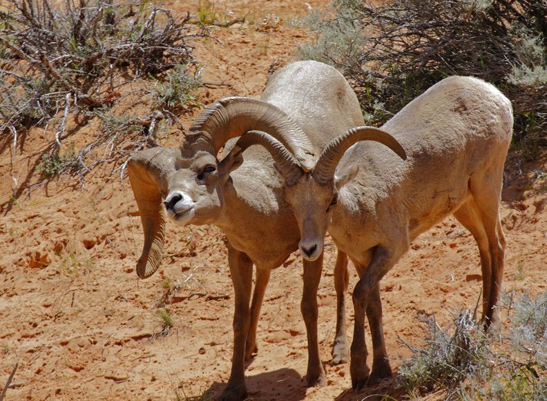 Bighorns Courting