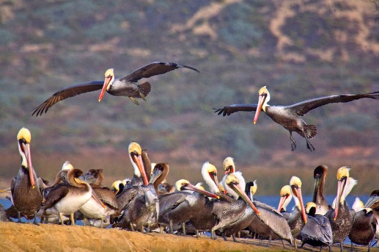 GUADALUPE BROWN PELICANS