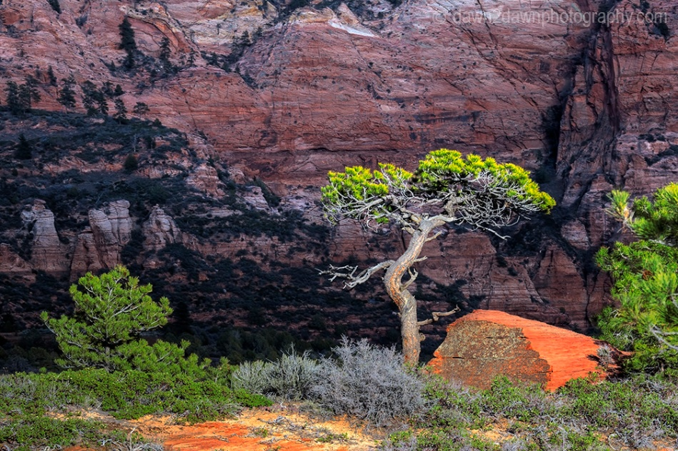Zion Pinyon Pine