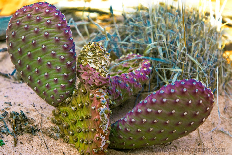 Prickly Pear Cactus-Zion NP