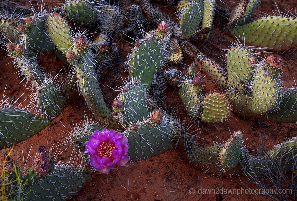 Prickly Pear Cactus blooms in the spring at Zion National Park, Utah