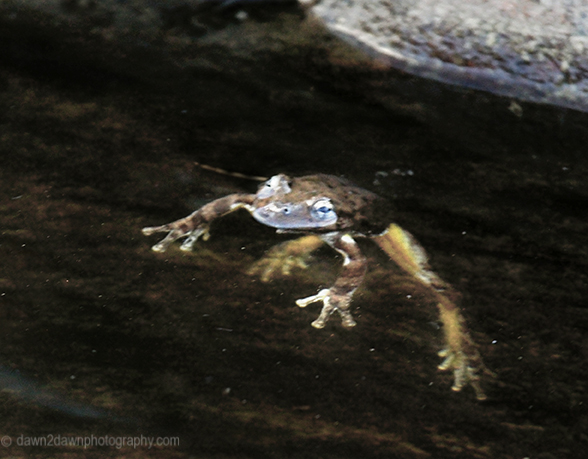The Canyon Tree Frog at the Many Pools Trail at Zion National Park, Utah
