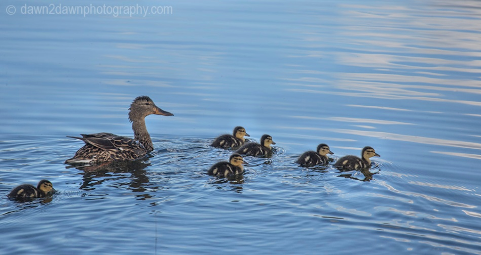 Mother Mallard Duck and her ducklings at Kolob Reservoir near Zion National Park, Utah