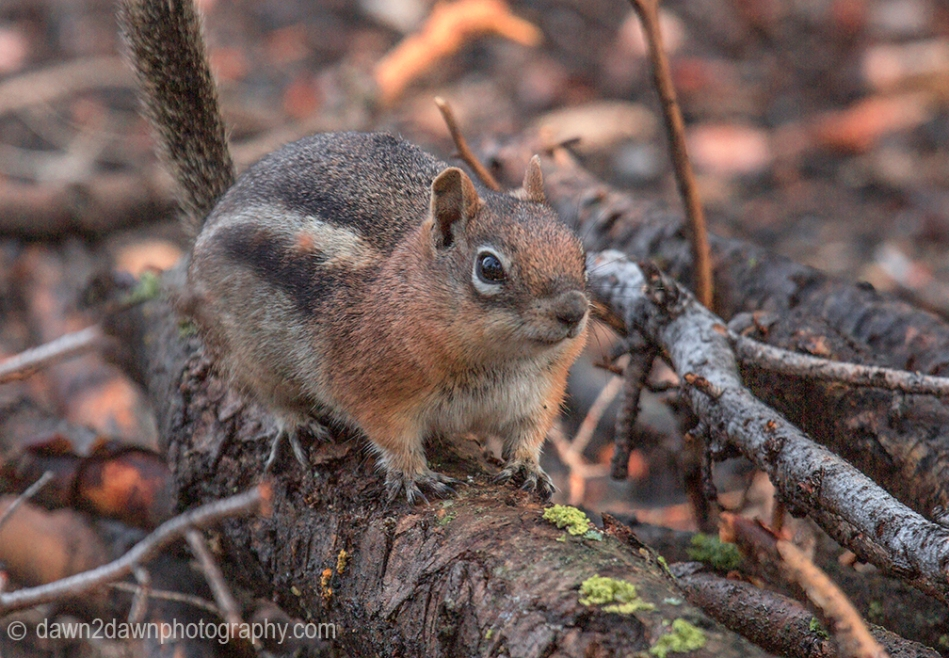 Chipmunk at Kaibab national Forest, Arizona