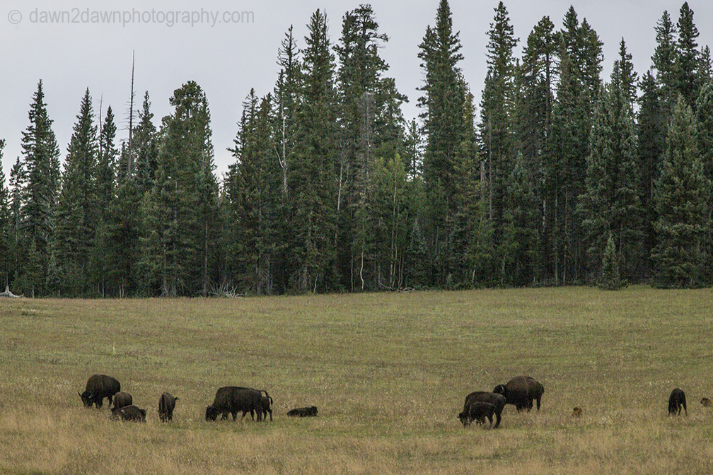 Bison graze along the North Rim of the Grand Canyon at Grand Canyon National Park, Arizona