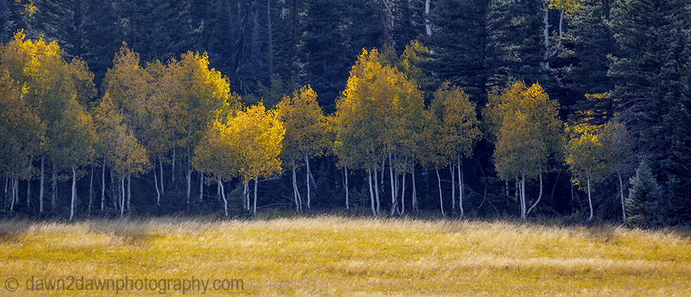Aspens start to turn color in the aerly fall at Grand Canyon National Park, Arizona