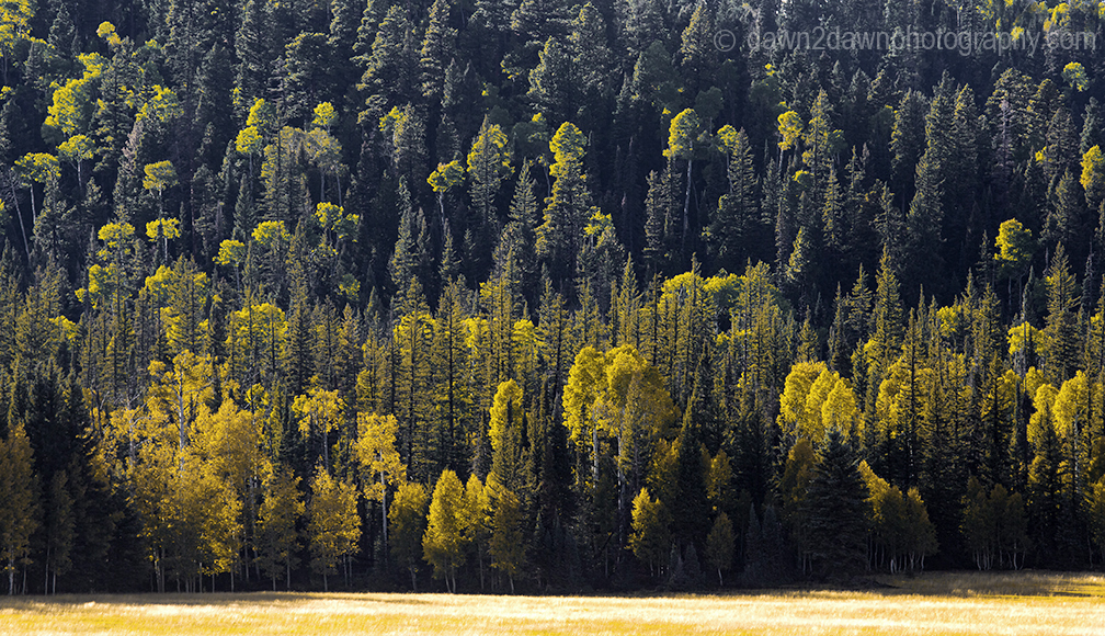Aspen trees are showing their fall colors at Grand Canyon National Park, Arizona