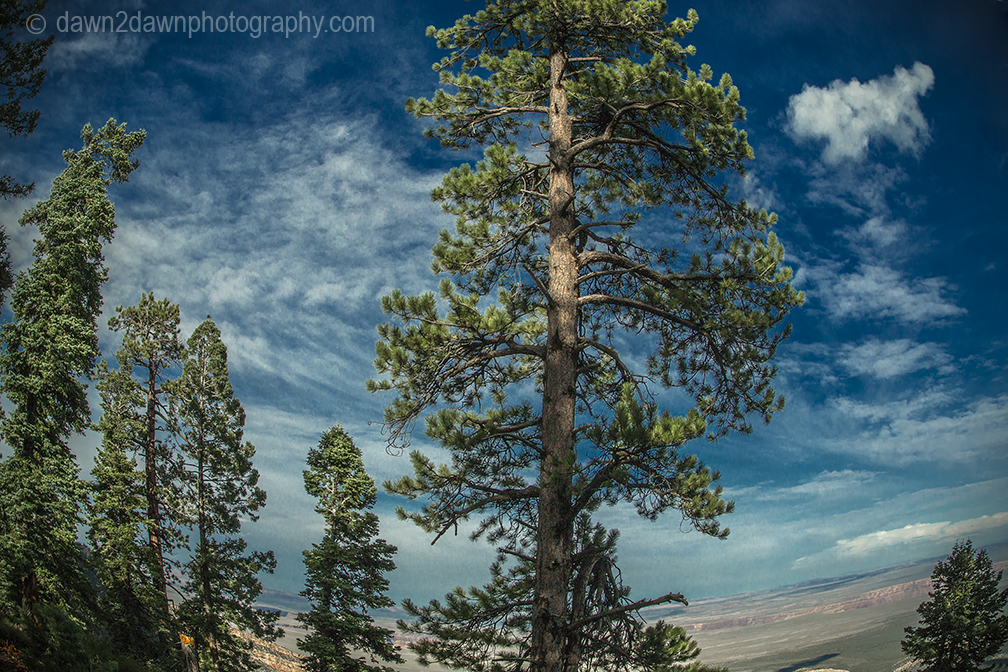 Ponderosa Pines at the Kaibab National Forest, Arizona