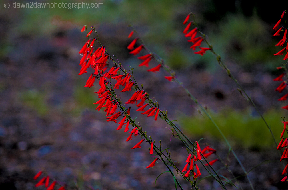 Red Penstemon grows in the wild at Grand Canyon National Park, Arizona