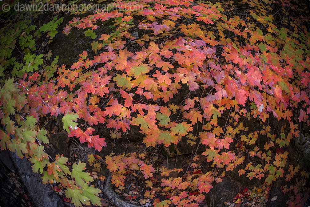 The maple trees have reached peak color at Zion National Park, Utah