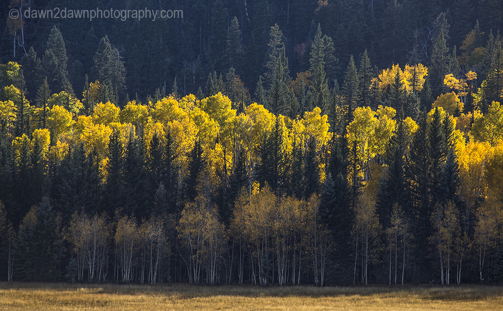 Fall colors have arrived by way of the Aspen Tree leaves at Grand Canyon National Park and Kaibab National Forest, Arizona
