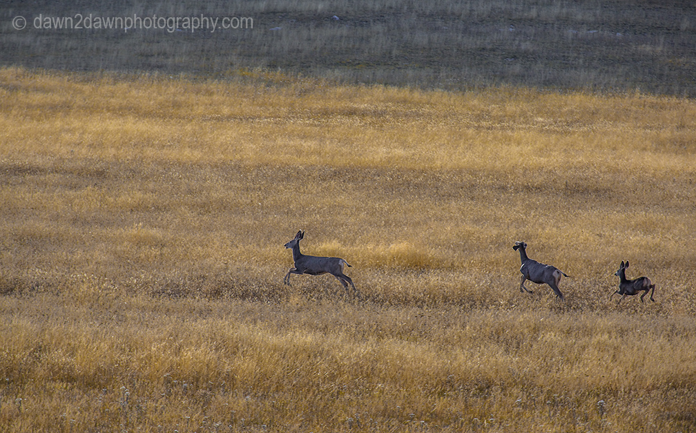 Mule deer run through the dry meadows of the Grand Canyon National Park, Arizona