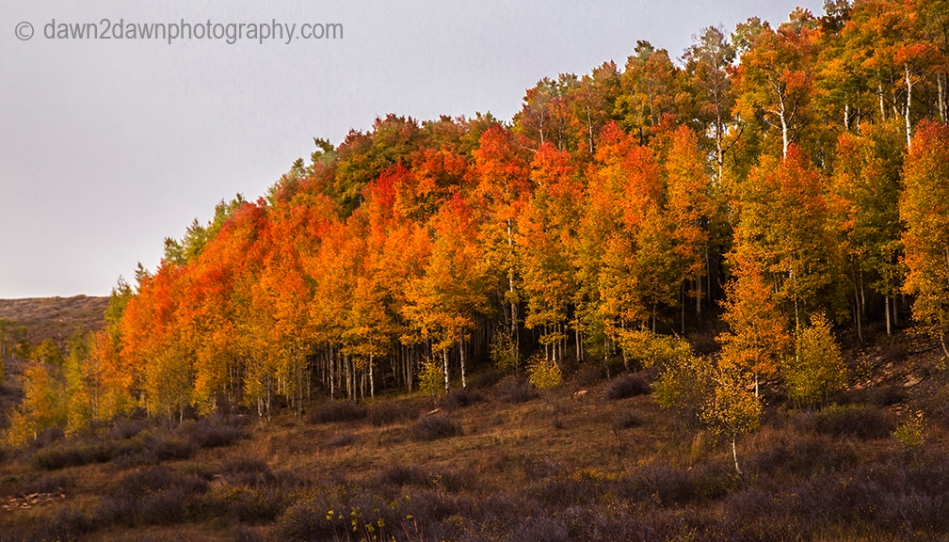 Fall colors have arrived at Kolob Terrace near Zion National Park, Utah