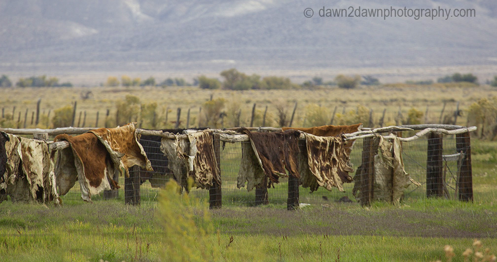 Owens Valley Cowhides_2704