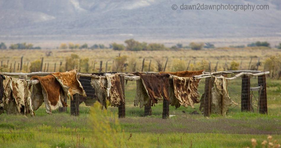 Owens Valley Cowhides_2704