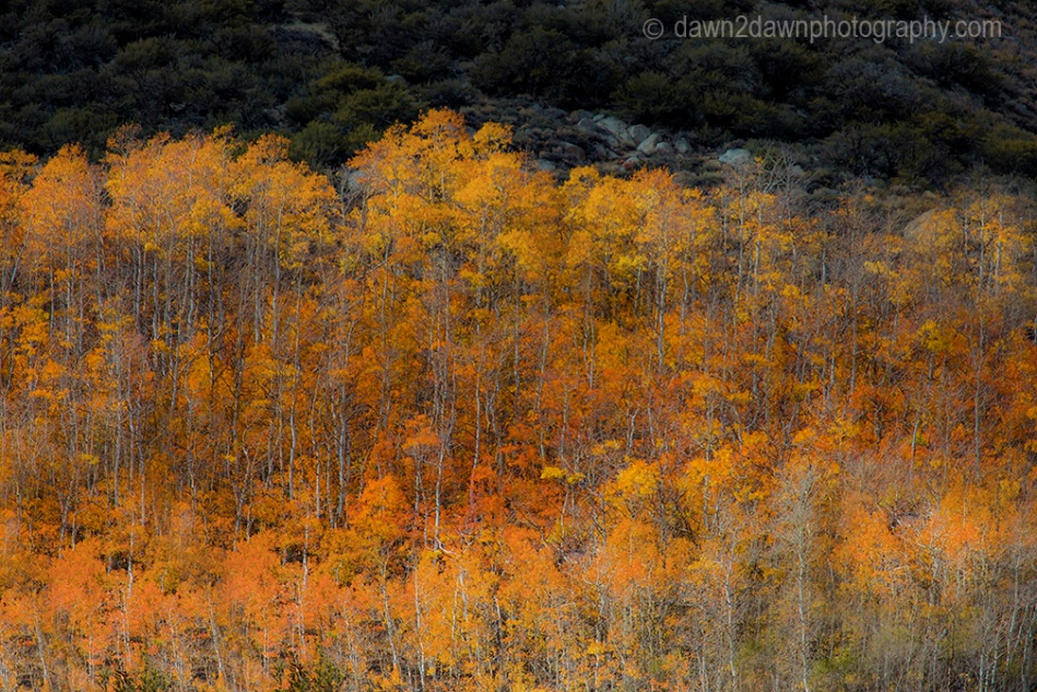 Fall colors have arrived to the Sierra Neveda Mountains adjacent to Owens Valley, California