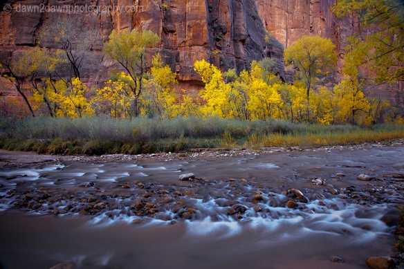 Fall colors have arrived along the Virgin River in Zion Canyon at Zion National Park, Utah