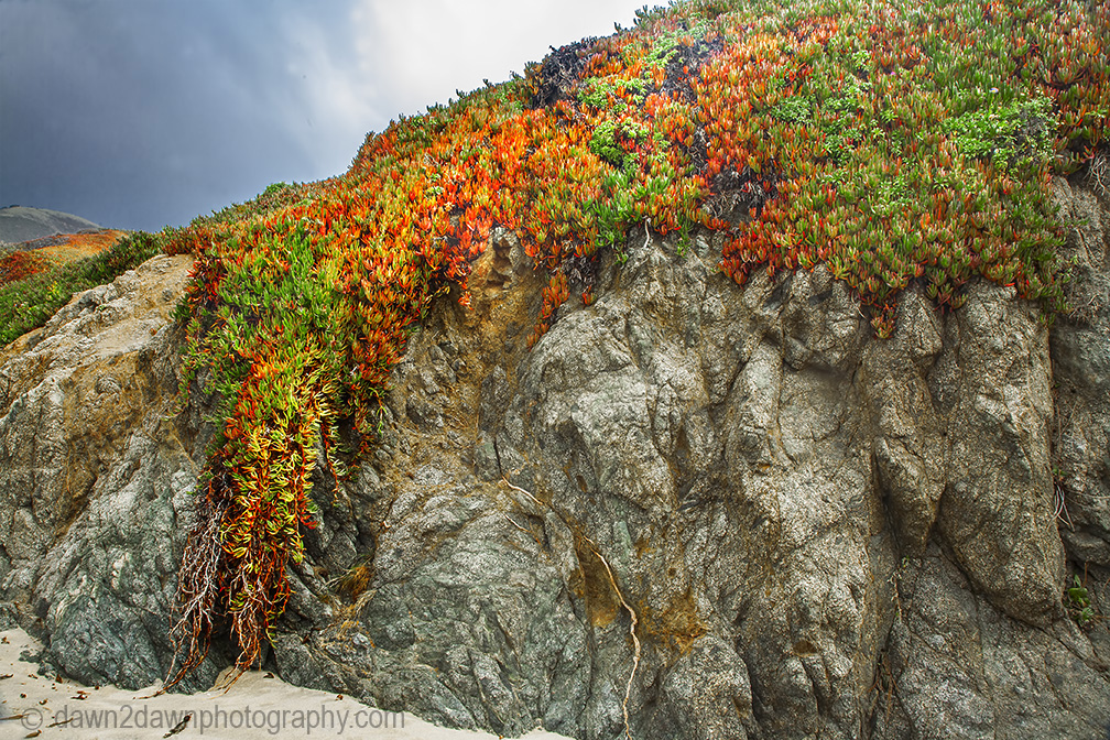 Ice plant, in its fall colors, grows along the Pacific Ocean Coastline in Central California