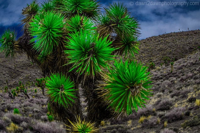 Joshua Trees at Death Valley National Park, California
