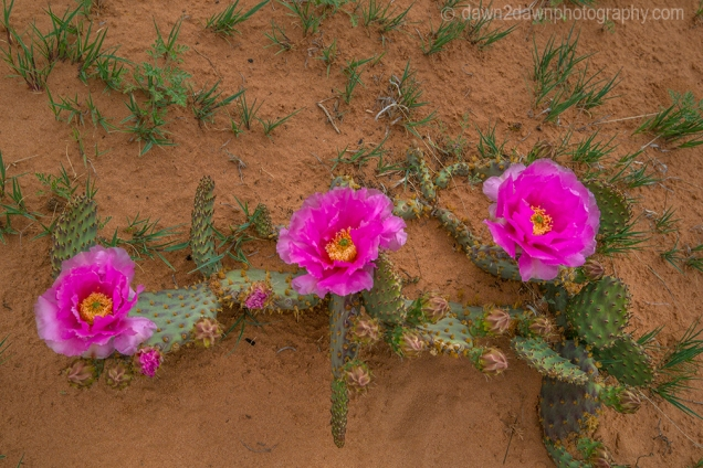 Cactus wildflowers are blooming at South Coyote Buttes at Vermillion Cliffs National Monument, Arizona